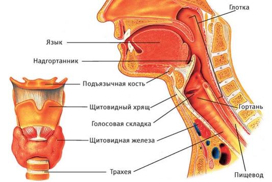 Как долго развивается рак горла