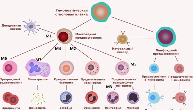 Схема гемопоэза с клетками предшественниками острого миелоидного лейкоза