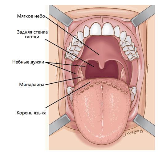 Анатомия ротоглотки