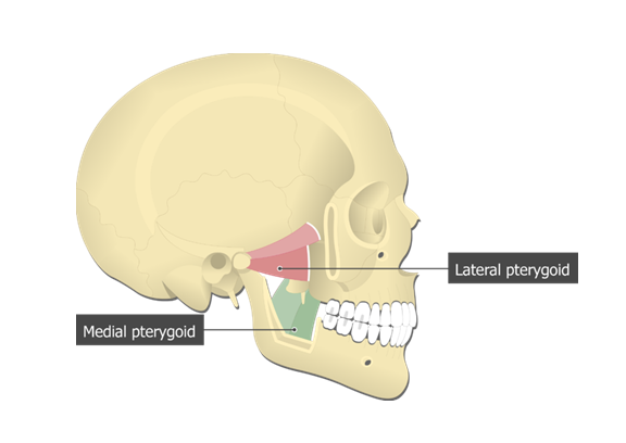 Медиальная (medial pterygoid muscle) крыловидная мышца
