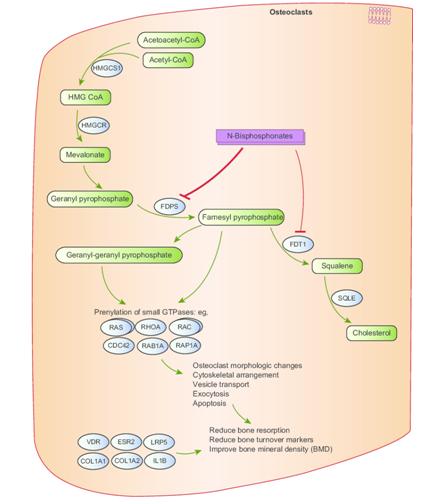 Рис. 8:  Иллюстрация механизма действия бифосфонатов. Продемонстрировано угнетение фарнезилфосфат-синтазы, приводящее к накоплению фарнезилпирофосфата в остокластов с последующей реализацией апоптоза и уменьшение выраженности костной резорбции